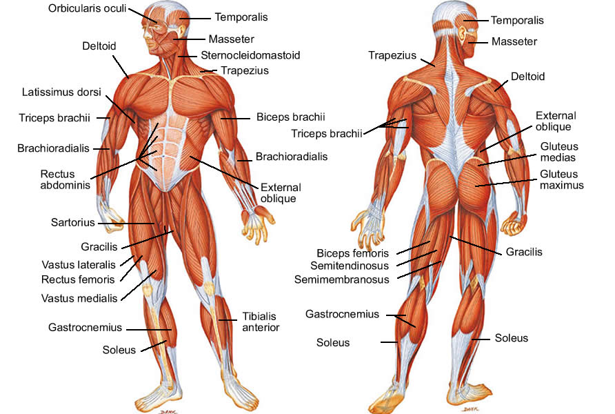 Muscular and human body