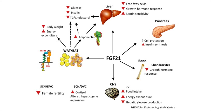 Intermittent Fasting Diabetes >> The starvation hormone increases lifespan - Rogue Health and Fitness